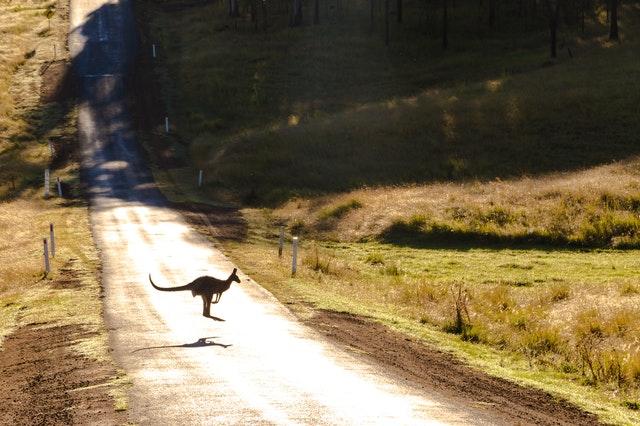 ver canguros australia